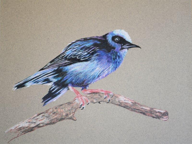 Pintura do pássaro do honeycreeper no ramo de árvore foto de stock
