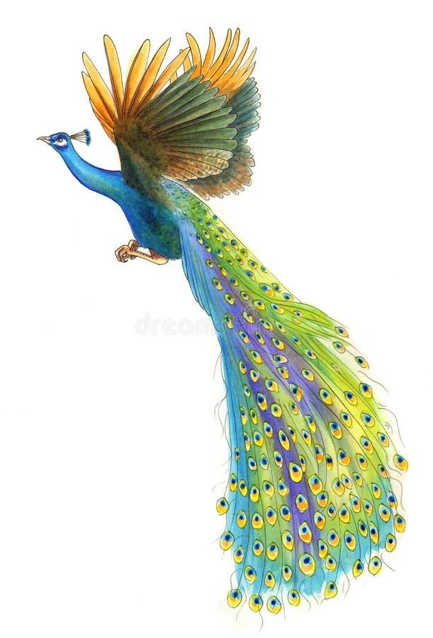 Pintura do pavão do voo ilustração do vetor