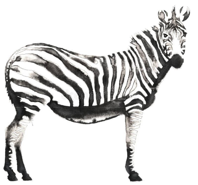 A pintura monocromática preto e branco com água e a tinta tiram a ilustração da zebra fotos de stock