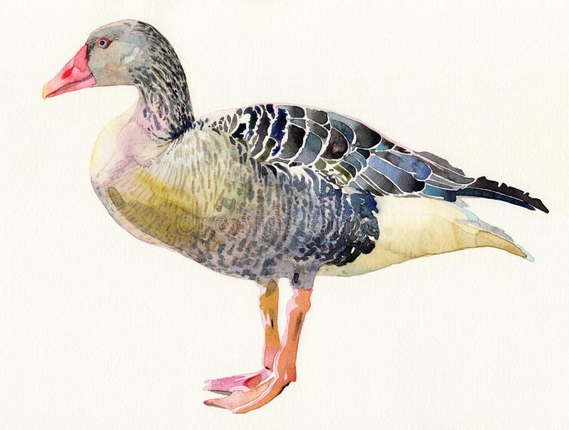Pintura original da aquarela do pássaro, anser do Anser ilustração do vetor
