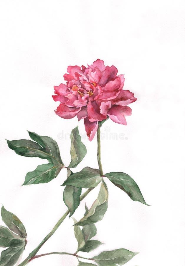 Pintura vermelha da aguarela da flor do peony ilustração do vetor