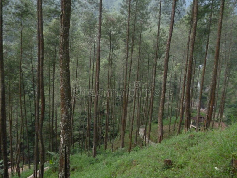 Pinus& x27 δέντρο του s στοκ εικόνες