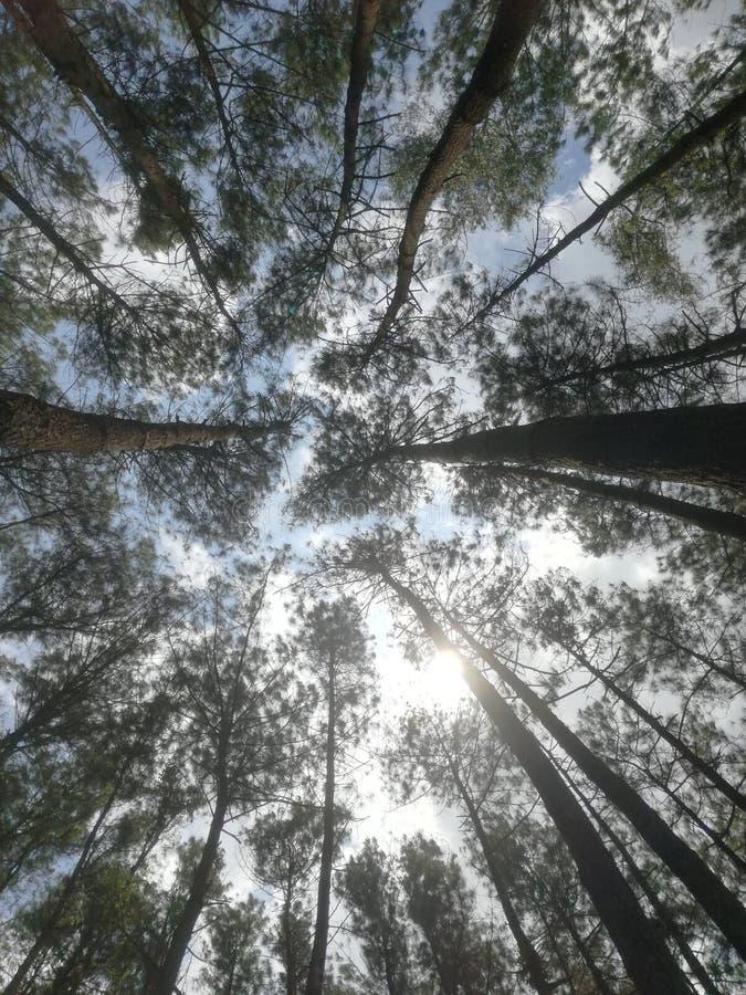 Pinus или сосновый лес Hutan стоковое фото rf