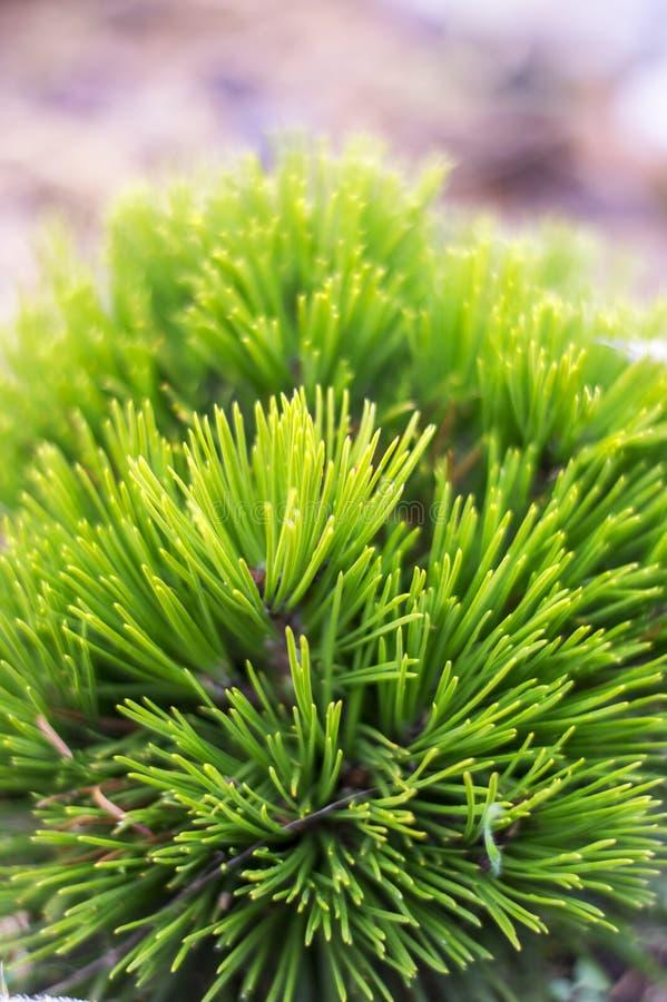 Pinus1 стоковое изображение