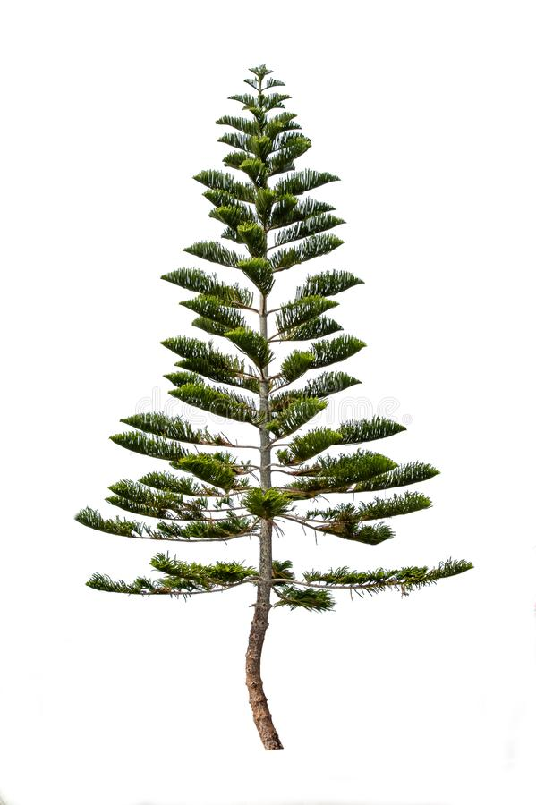 Pinus auf einem weißen Hintergrund mit Beschneidungspfad lizenzfreies stockfoto