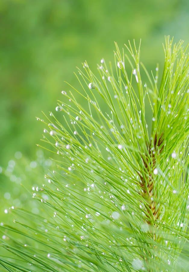 Pinus kesiya nel naturale fotografie stock libere da diritti
