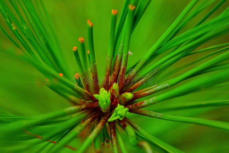 Pinus leafs stock photos