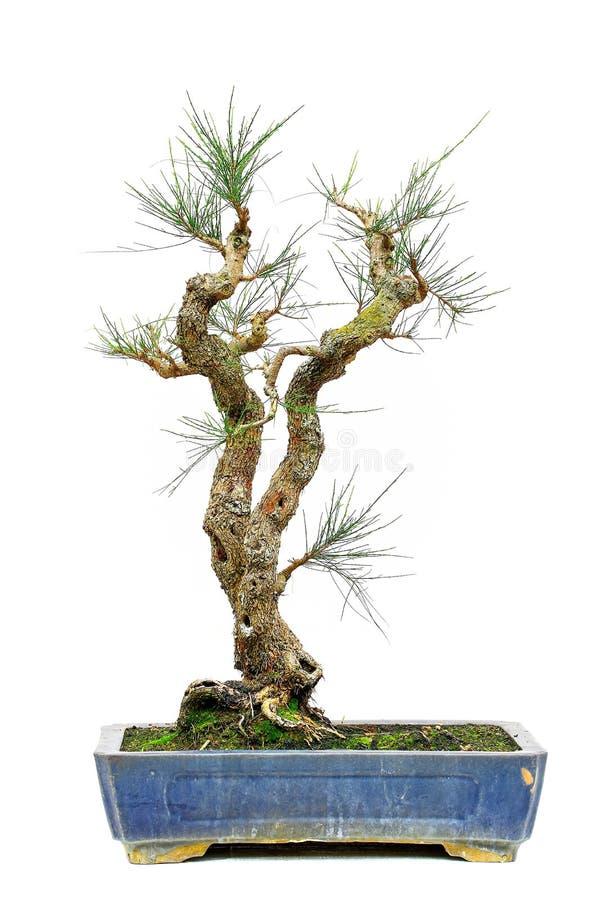 Pinus massoniana oder chinesische rote Kiefer in der Bonsaiform lizenzfreie stockbilder