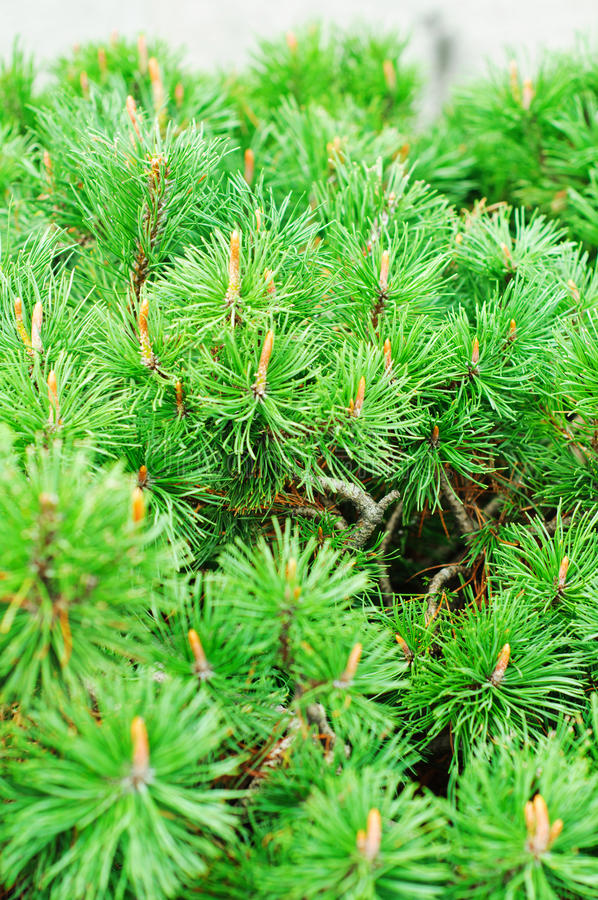 Download Closeup of pine tree stock photo. Image of pinaceae, pines - 27046028