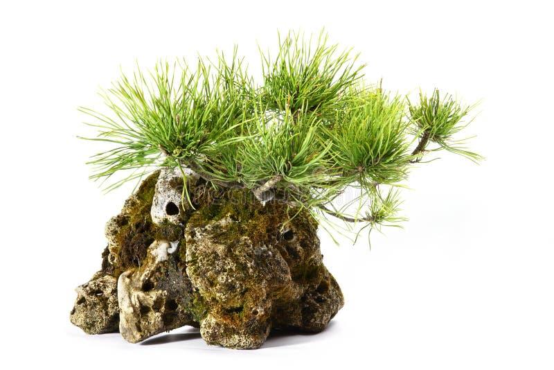 Pinus Mugo com ramos e folhas na rocha imagens de stock royalty free