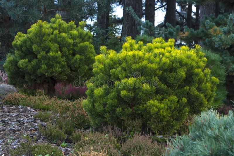 Pinus mugo. creeping pine, dwarf mountain pine. Pinus mugo - It is also known as creeping pine, dwarf mountain pine stock photo