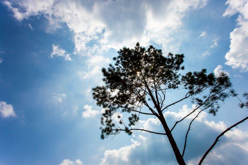 Pinus mugo - het is ook genoemd geworden kruipende pijnboom, dwergbergpijnboom royalty-vrije stock afbeeldingen
