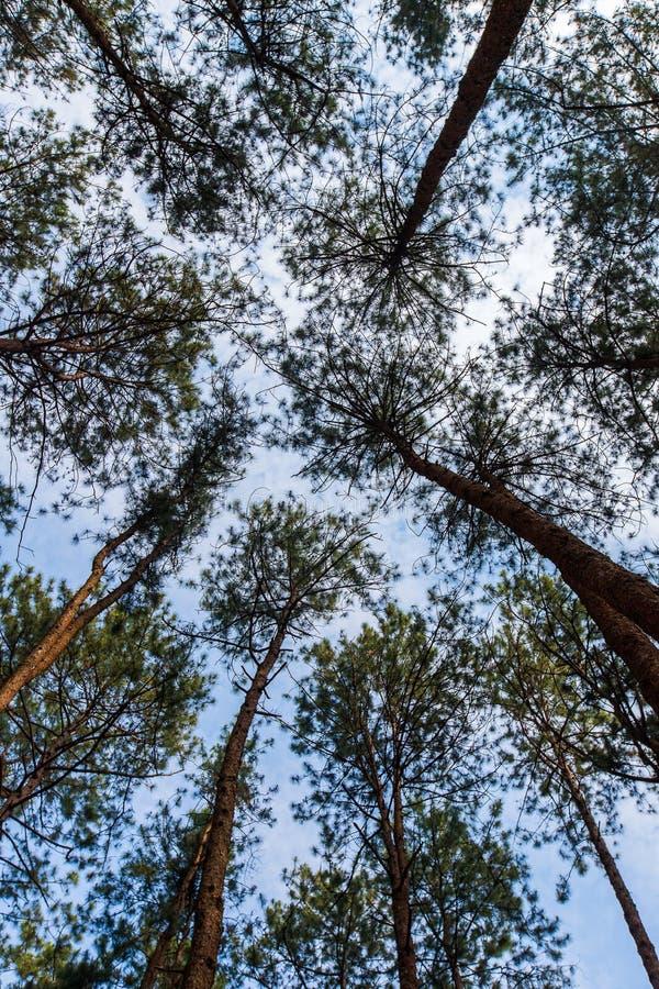 Pinus mugo - het is ook genoemd geworden kruipende pijnboom, dwergbergpijnboom stock afbeeldingen