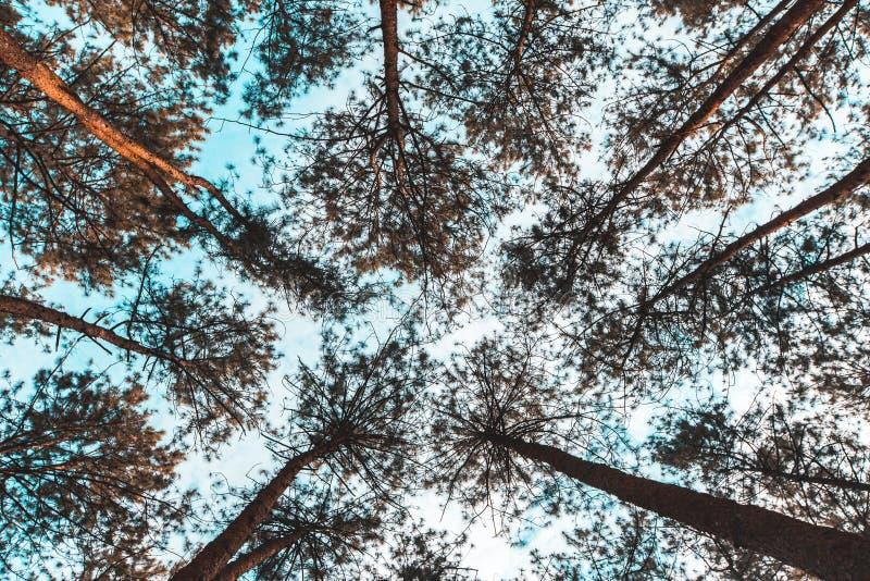 Pinus mugo - het is ook genoemd geworden kruipende pijnboom, dwergbergpijnboom, mugopijnboom stock afbeelding