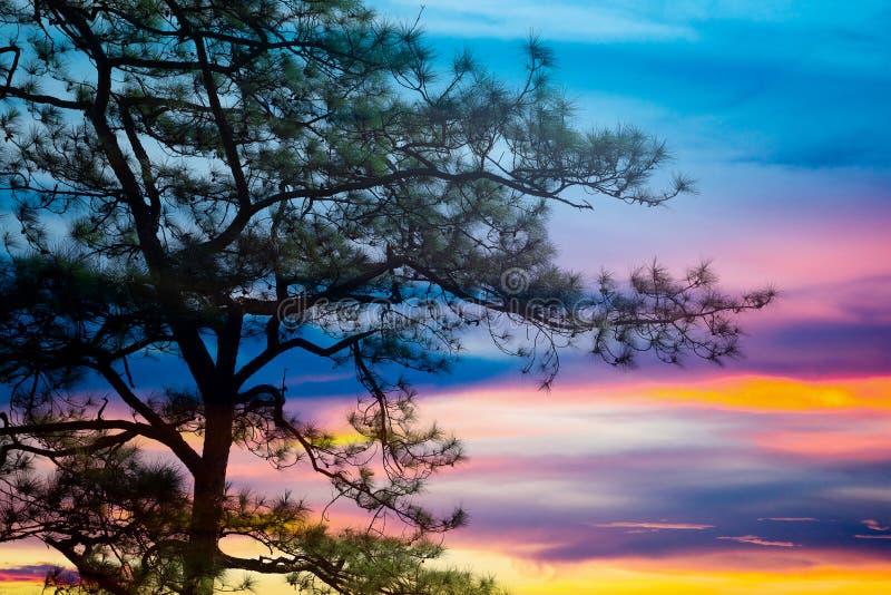 Pinus mugo - het is ook genoemd geworden kruipende pijnboom, dwergbergpijnboom, mugopijnboom royalty-vrije stock afbeeldingen