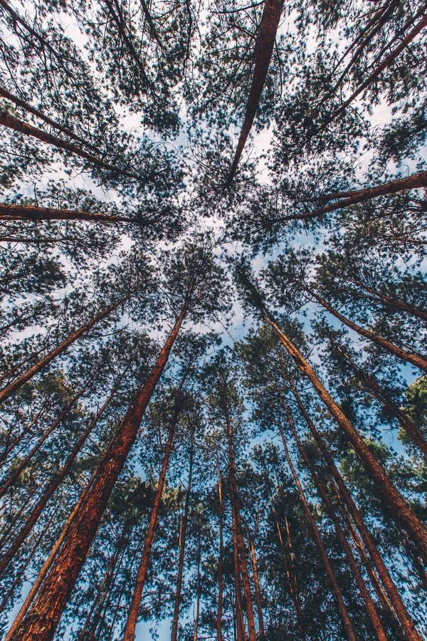 Pinus mugo - het is ook genoemd geworden kruipende pijnboom, dwergbergpijnboom stock foto's