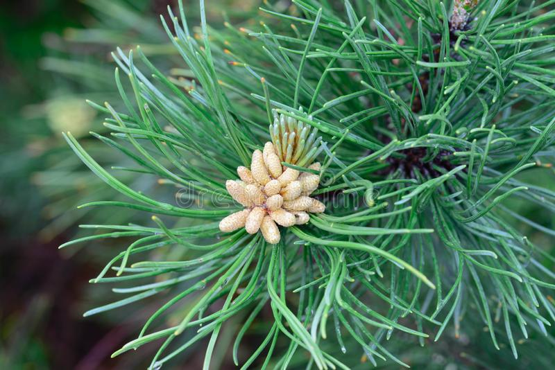 Pinus mugo männliche Blumen stockbilder