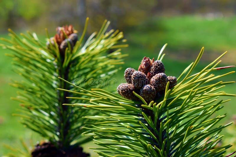 Pinus mugokegels stock foto