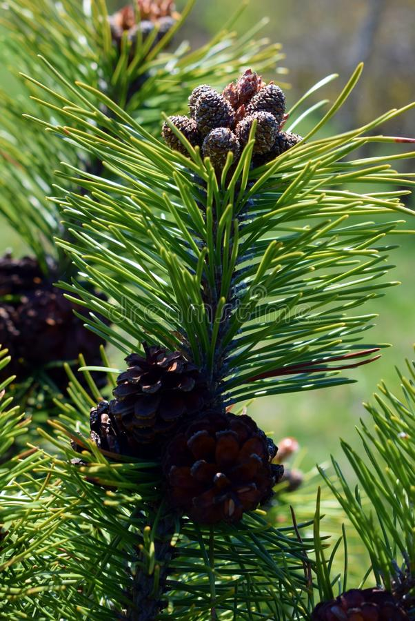 Pinus mugokegels royalty-vrije stock foto's
