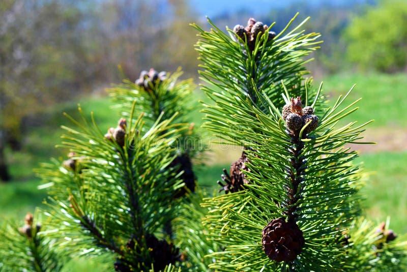 Pinus mugokegels stock afbeeldingen
