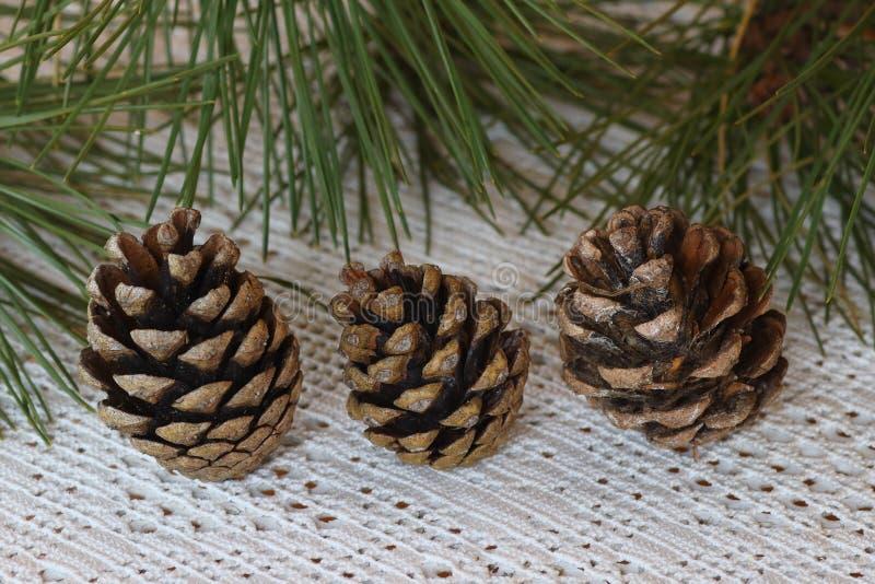 Pinus Pinea, som sörja från, muttrar göras royaltyfria bilder