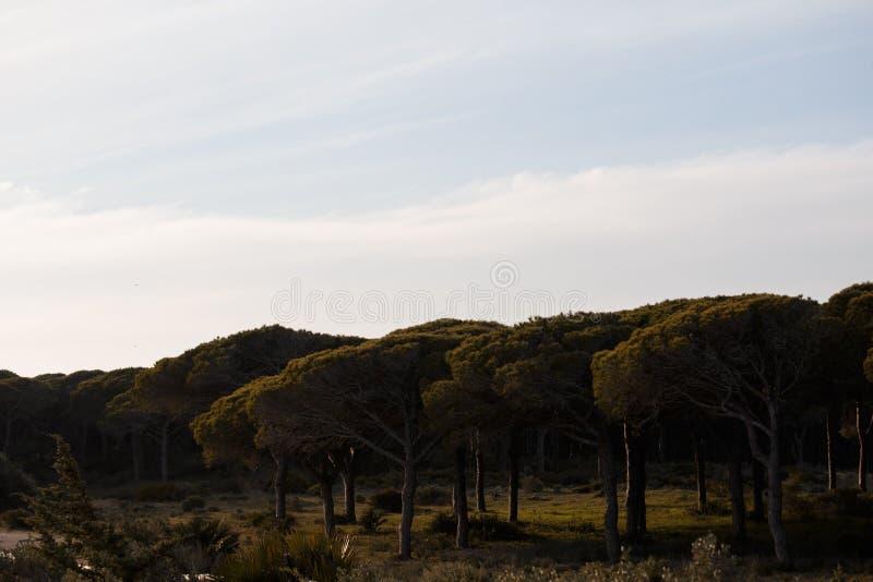 Pinus Pinea träd på solnedgång arkivbilder