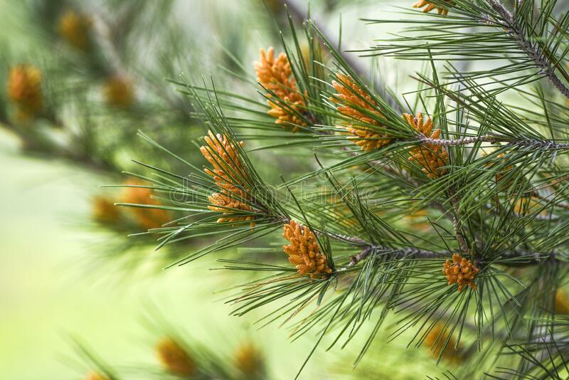 Pinus radiata blooming in forest springtime.  royalty free stock images