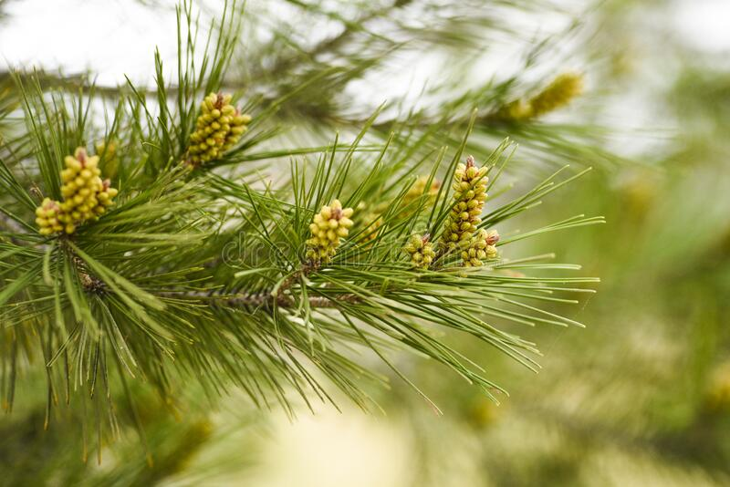 Pinus radiata blooming in forest springtime.  stock photography