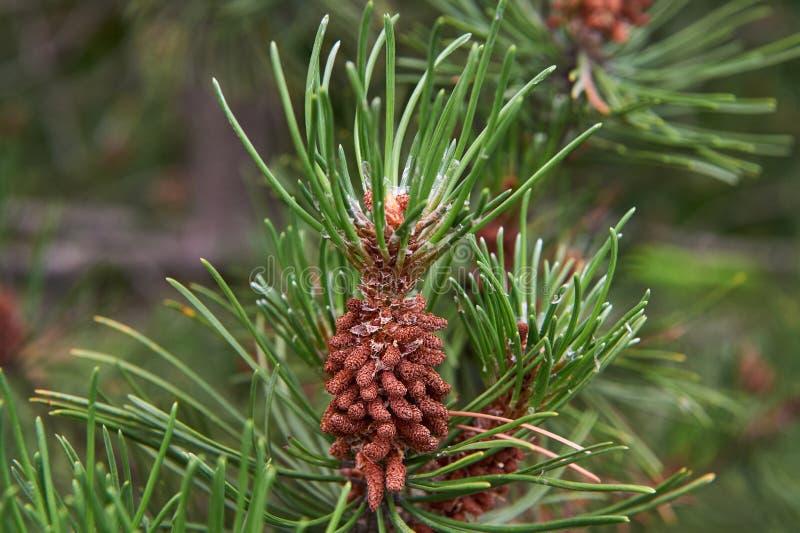 Pinus Serotina Pine tree .Pond pine tree young cone. Pond pine tree young cone stock photo