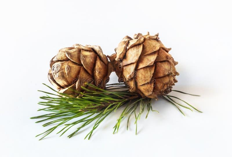 Pinus sibirica dei coni o pigne siberiane su fondo leggero fotografia stock libera da diritti