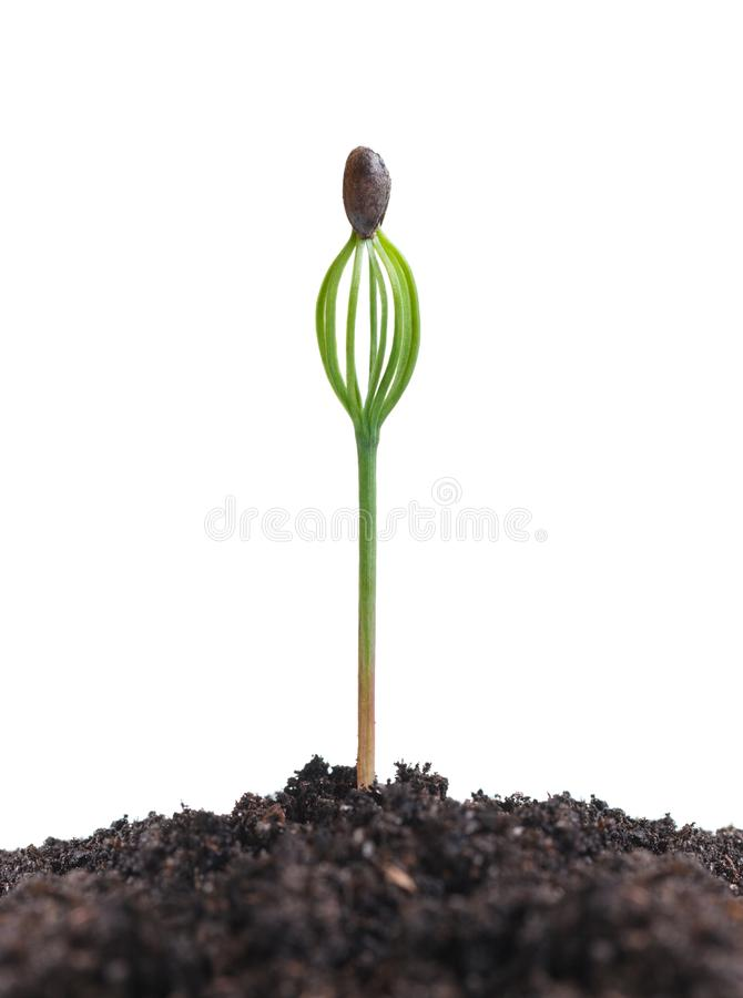 Pinus SP spruit royalty-vrije stock afbeelding