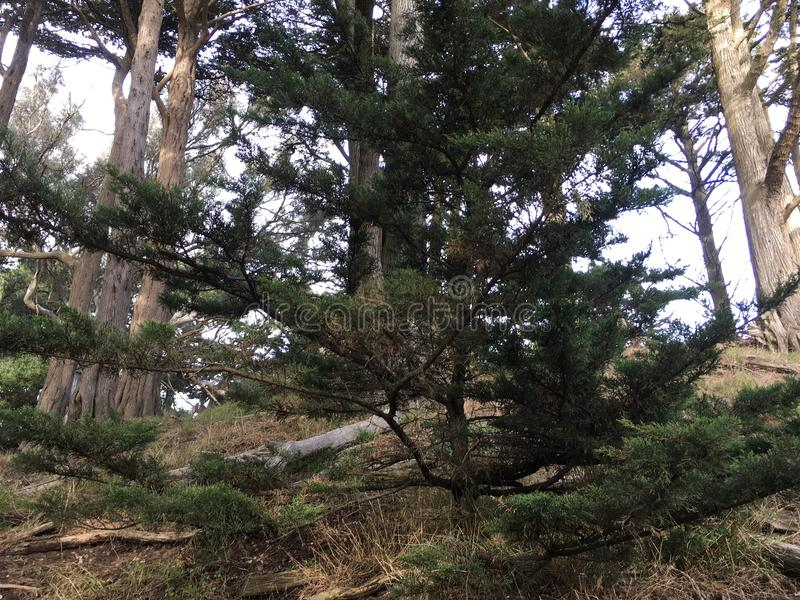 An apprentice Torrey Pine, among many now growing throughout California. royalty free stock photography
