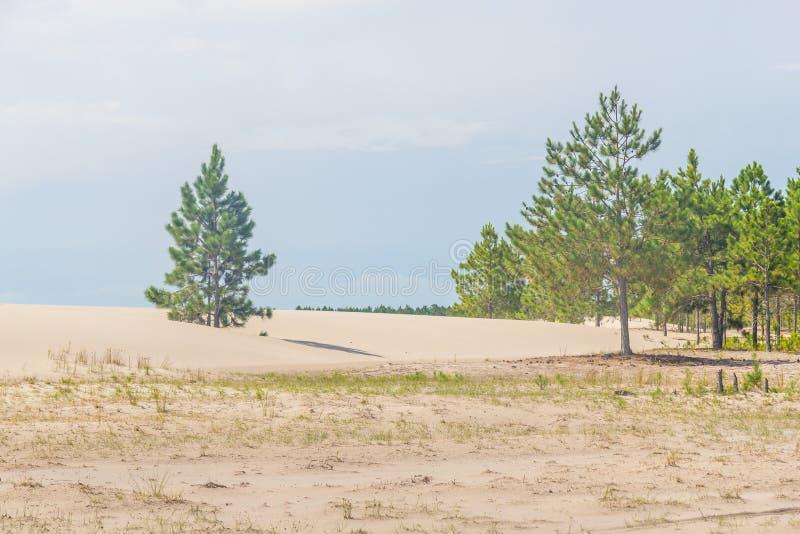 Pinuselliottiiskogen beingcovered vid dyn på Lagoa DOS Patos royaltyfri fotografi