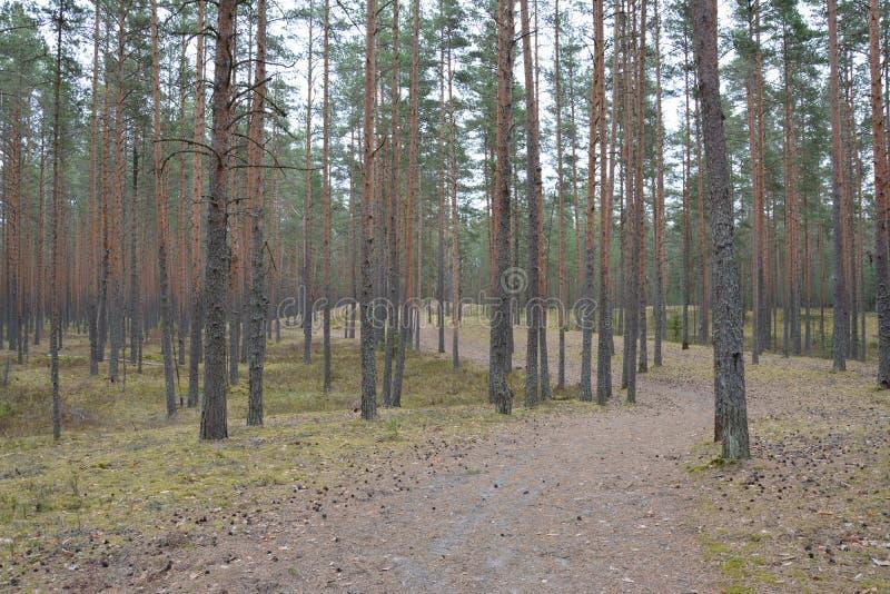 Piny древесина стоковое изображение rf