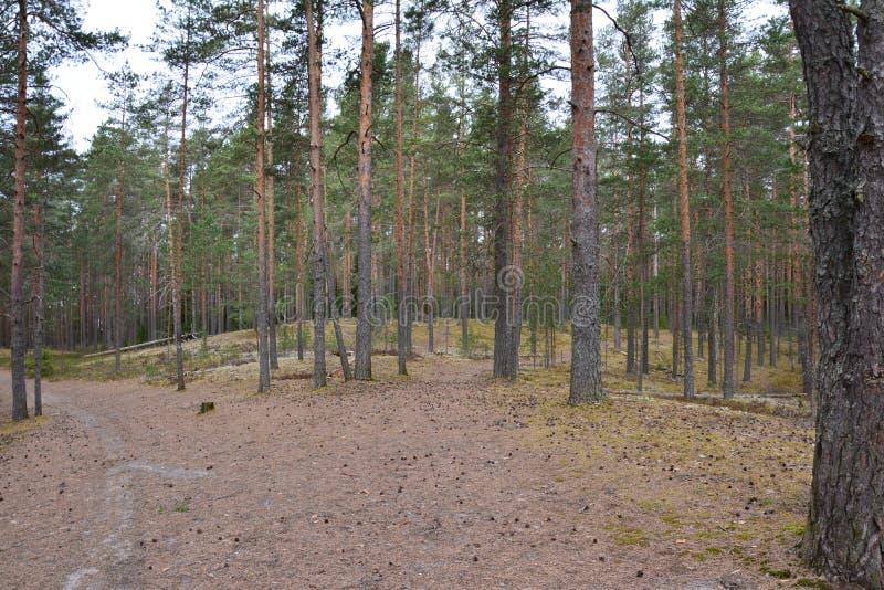 Piny древесина стоковое изображение