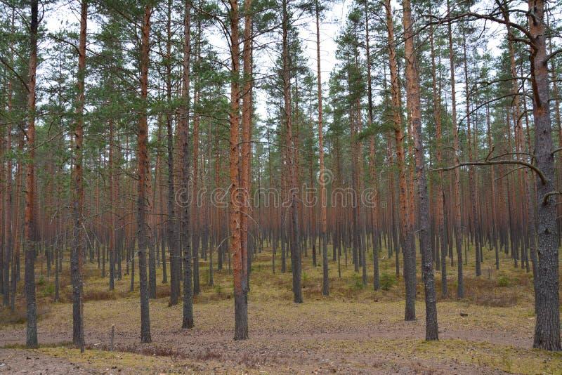 Piny древесина стоковые изображения rf