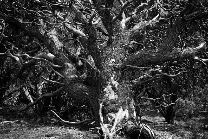 Pinyon-Baum-Stamm und Glieder Schwarzweiss stockfotos