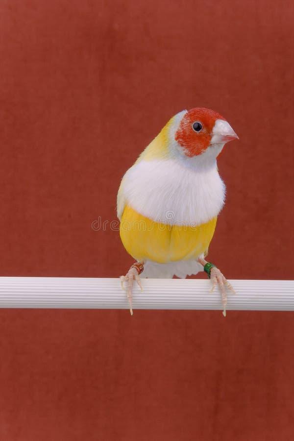 Pinzón de Gouldian del pájaro imagenes de archivo