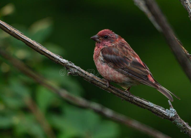 Pinzón rojo encaramado en una rama de árbol fotos de archivo