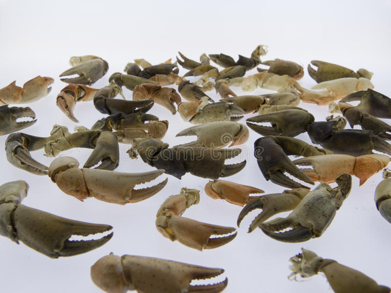 Pinze dei granchi, frutti di mare, isolati immagine stock