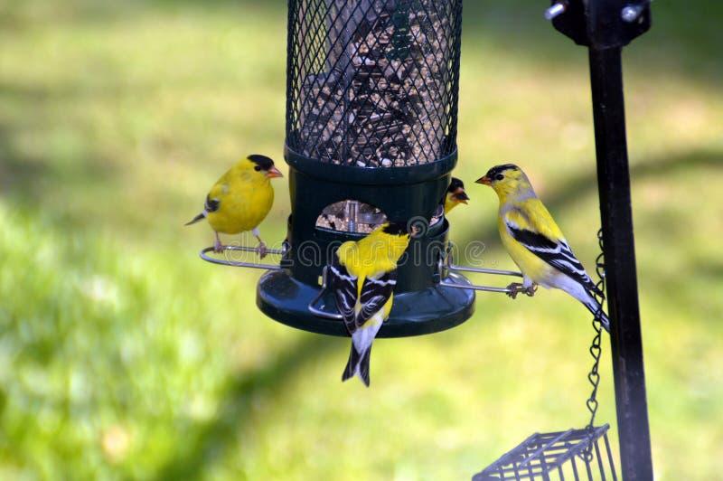 Pinzones del oro en el alimentador del pájaro foto de archivo