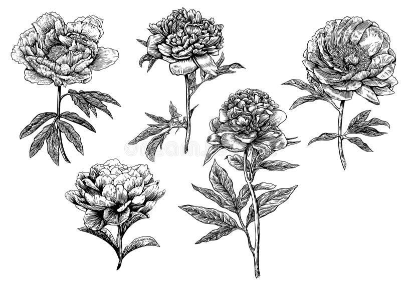 Pioen, bloem, gravure, tekening, vector, illustratie royalty-vrije illustratie