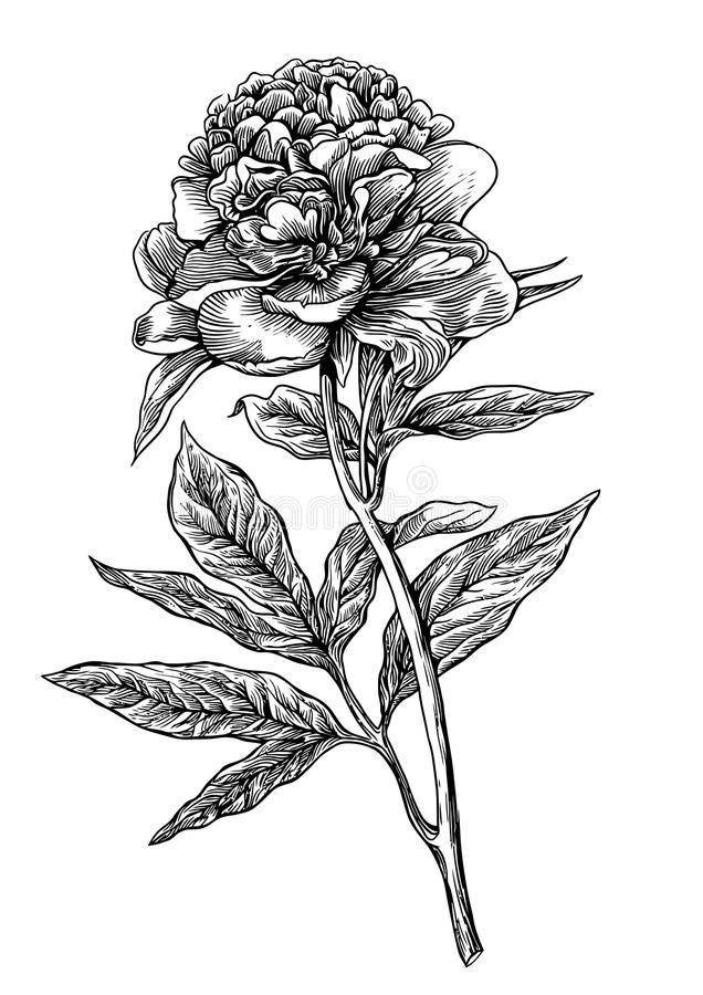 Pioen, bloem, gravure, tekening, vector, illustratie vector illustratie