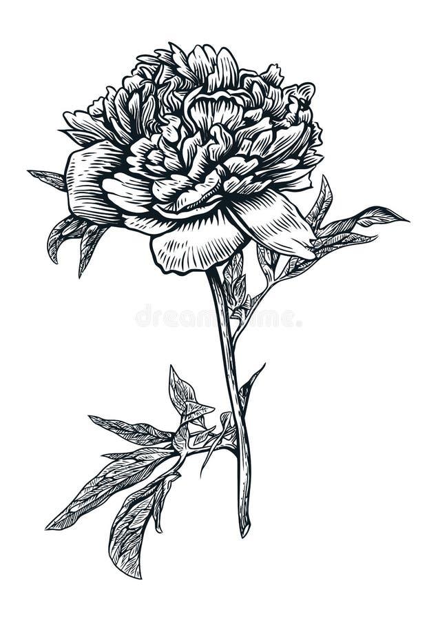 Pioen, bloem, gravure, tekening, vector, illustratie stock illustratie