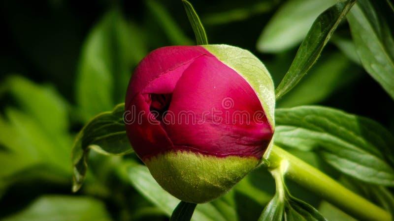 Pioen in de kleur van Bourgondië royalty-vrije stock foto's