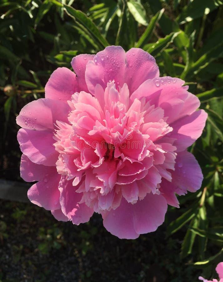 Pioen in de tuin vroeg in de ochtend royalty-vrije stock afbeelding