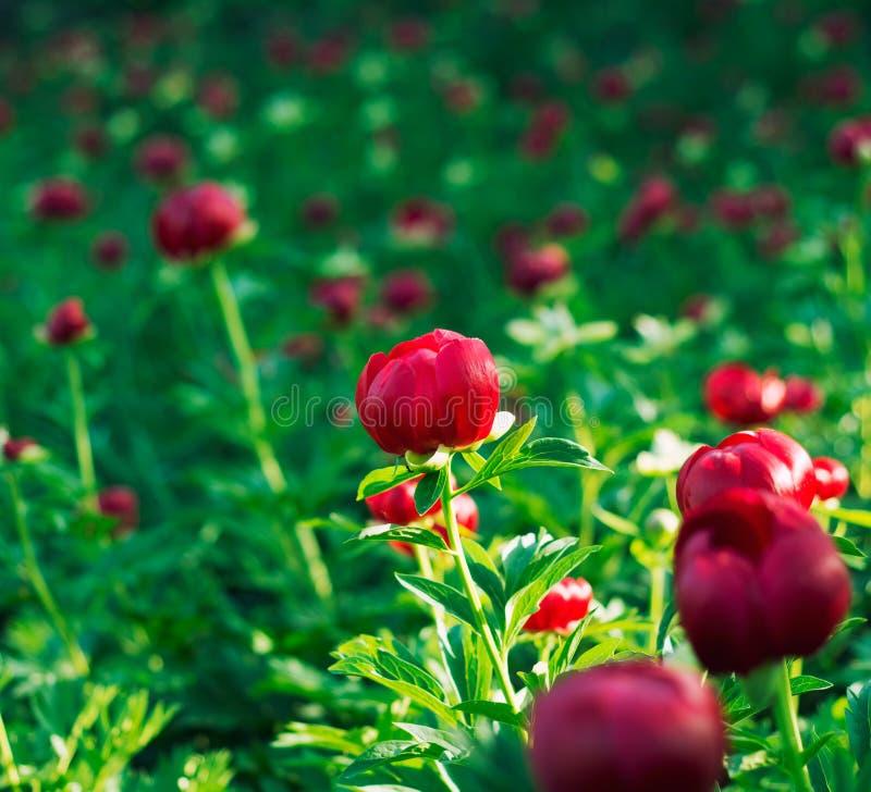 Pioen (Paeoniaceae) gebied in de vroege zomer. stock fotografie