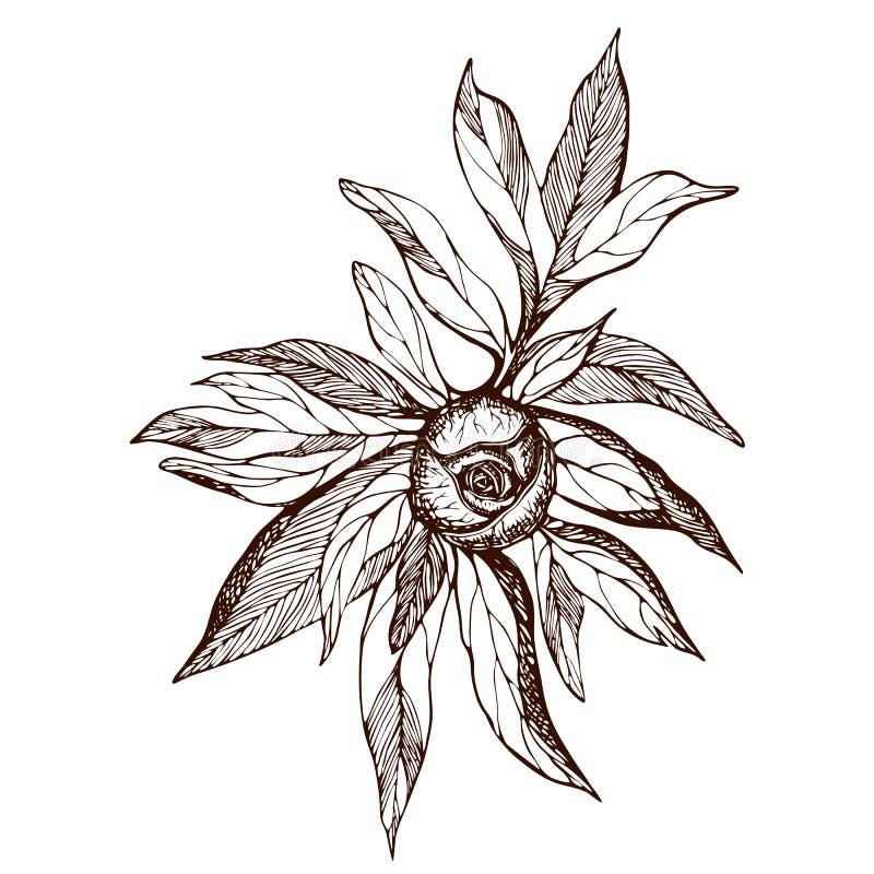 Pioenbloem en bladeren het trekken E r stock illustratie