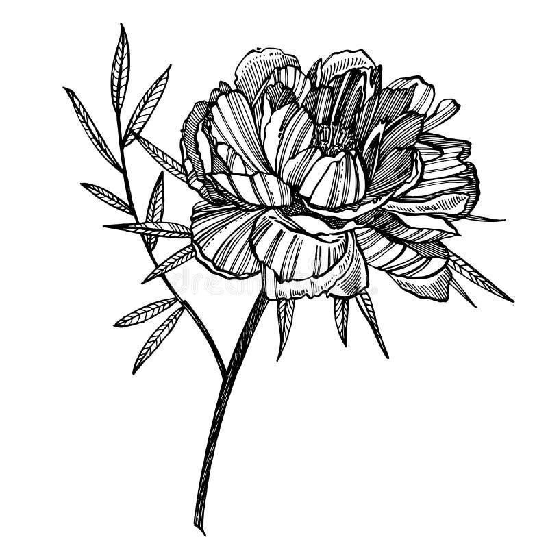 Pioenbloem en bladeren het trekken Getrokken de hand graveerde bloemenreeks Botanische illustraties Groot voor tatoegering, uitno royalty-vrije illustratie