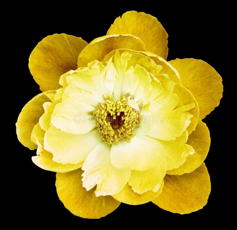 Pioenbloem geel op de zwarte geïsoleerde achtergrond met het knippen van weg nave Close-up geen schaduwen Tuin stock foto's